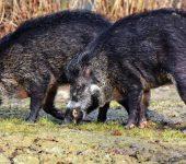 Pomembni elementi pri pasteh za divje svinje