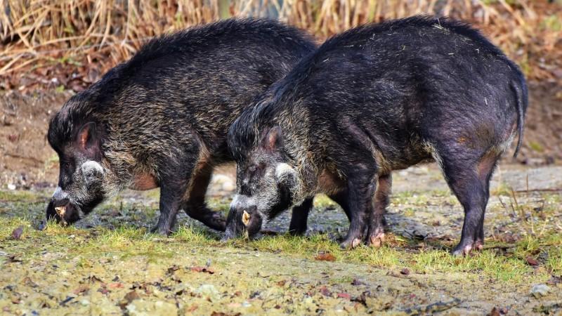 Divje svinje